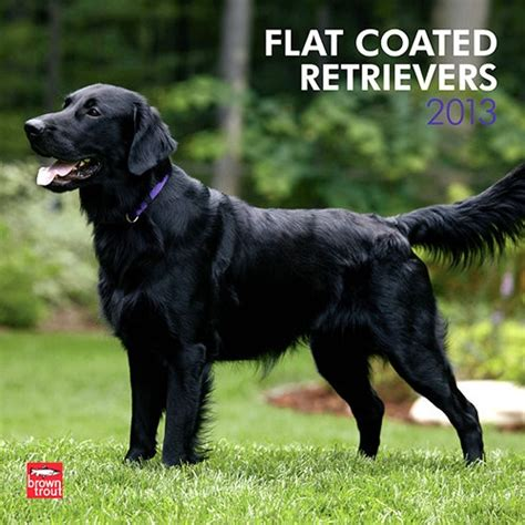flatcoated retrievers the world flat coated retrievers wall calendar the flat coated retriever is a loving and playful dog