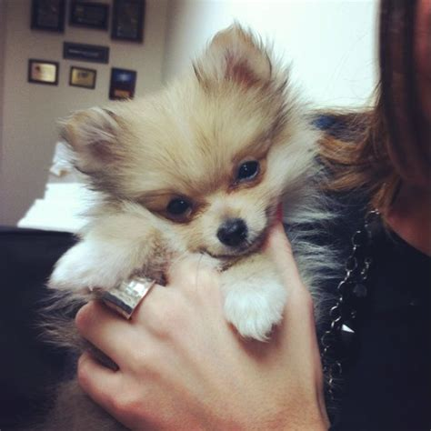 where can i buy teacup pomeranian pomeranian teacup breeds picture