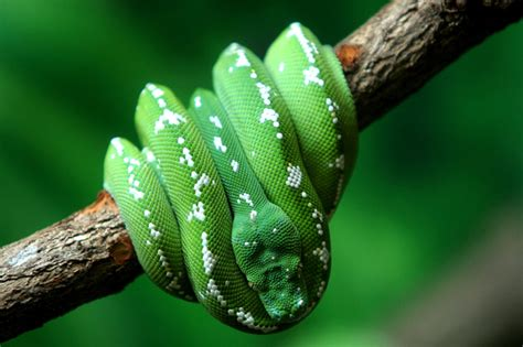 imagenes de serpientes verdes fotos de serpientes im 225 genes de serpientes pit 243 n