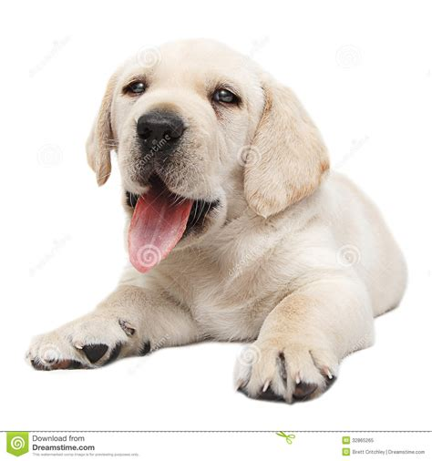 puppy panting panting puppy royalty free stock photo image 32865265