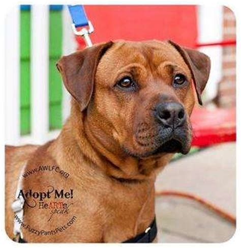 rottweiler mix with boxer pics of rottweiler boxer mix search katz and dawgs boxer mix