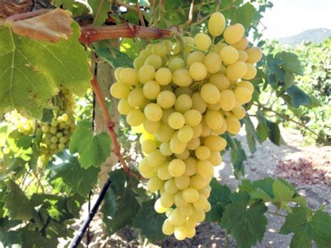 """Grape """"Sultana""""   Perth, WA   Online Garden Centre"""