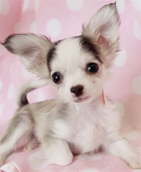 long hair chihuahua hair growth what to expect long hair chihuahua puppy dog breeds picture