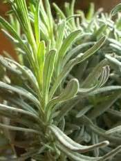 grow lavender growing lavender plant care tips