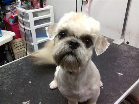 Shih Tzu Poodle Haircuts | poodle shih tzu haircuts