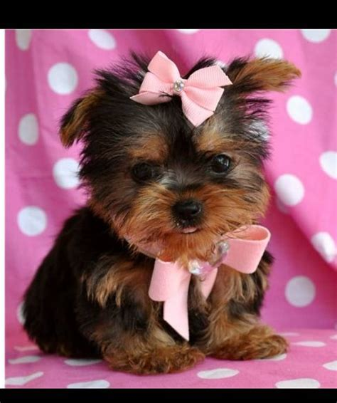 yorkie round face cut yorkie teddy bear face haircut black hairstyle and haircuts