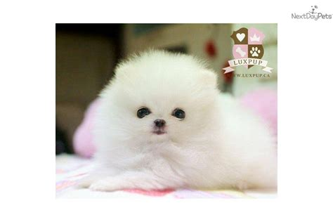 teacup pomeranian characteristics teacup pomeranian size personality grooming and sale auto design