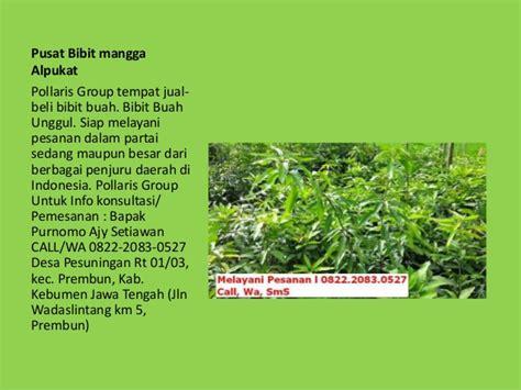 Bibit Pohon Mangga Alpukat tanaman buah alpukat dalam pot jual alpukat pohon alpukat