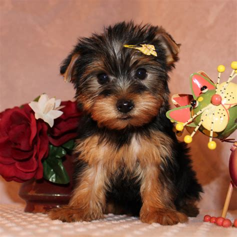 teacup yorkie puppies for adoption teacup yorkie puppies for adoption
