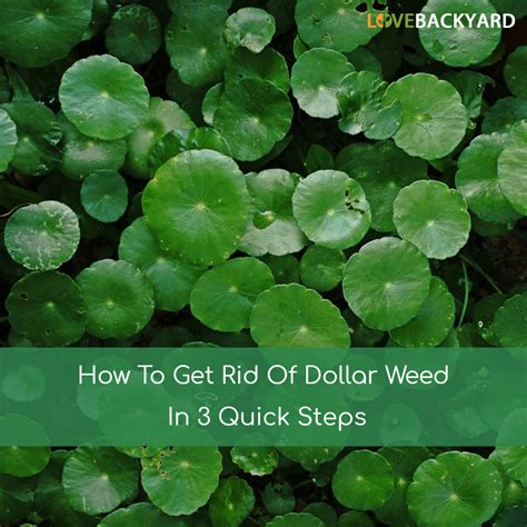 how to get rid of grass in flower beds how to get rid of dollar weeds in 3 quick steps apr 2018