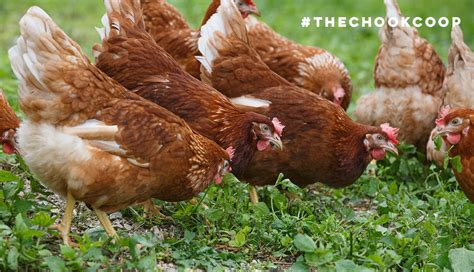 best backyard egg laying chickens what are the best backyard egg laying chickens 28 images