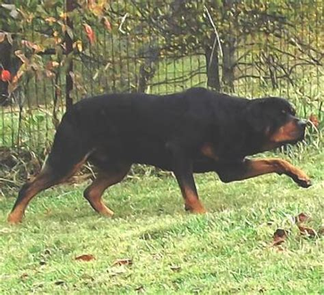 show me a picture of a rottweiler rottweiler pics rottweiler pictures that will really make you smile