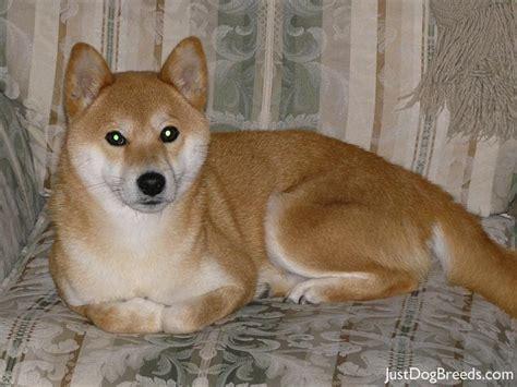 shiba inu puppy for sale shiba inu corgi mix puppies for sale akita inu akita animal