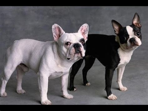 boston bulldog puppies frenchton puppies dogs for sale in ta florida fl 19breeders fort lauderdale