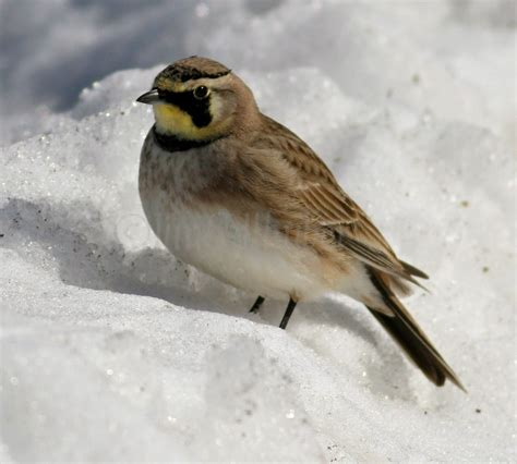 horned larks at johnson creek in jefferson county
