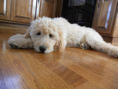 goldendoodle puppy eats everything labradoodle haircut styles isn t it drastic