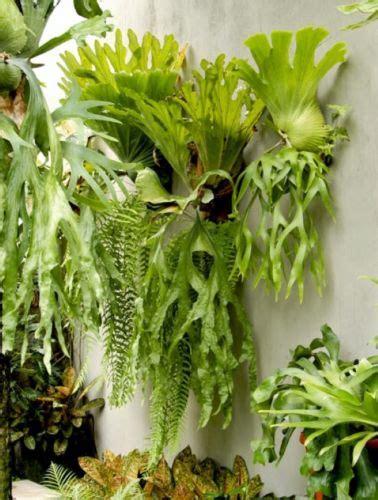 tanaman hias daun cantik  cocok  rumah bibit