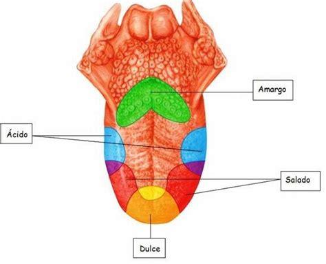 la lengua de los 191 qu 233 parte de la lengua percibe cada sabor respuestas tips