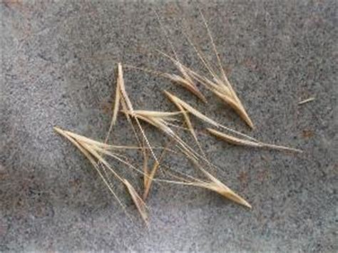 grass awns my 2 yr old cat started limping meowing and licking his left paw we noticed it was