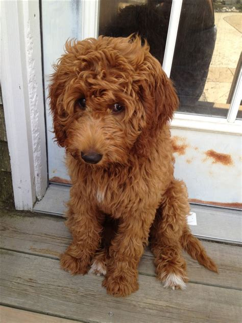 your doodle puppy year the sweetest goldendoodle dogs