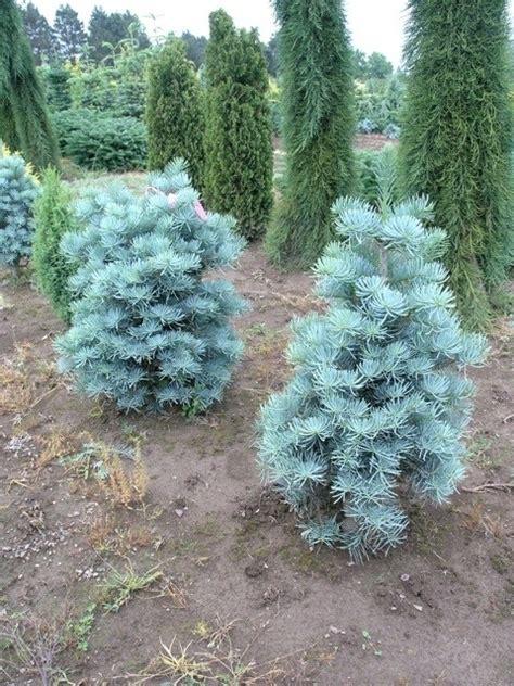 pino nano da giardino abete abies concolor alberi abete alberi
