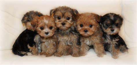 morkie yorkie yorkie puppies with bows breeds picture