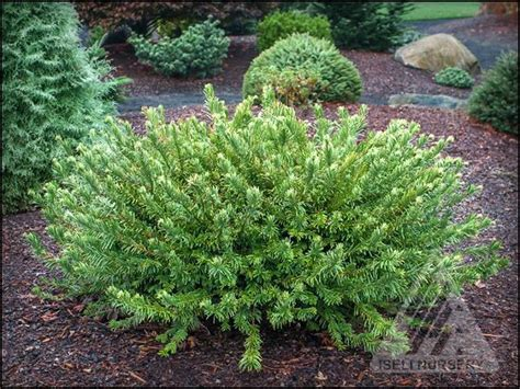Cephalotaxus Duke Gardens by 21 Best Images About Ztaxaceae Cephalotaxus Yew On