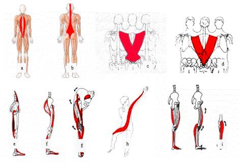 cadenas musculares tronco crossfit las rozas la importancia del estiramiento de