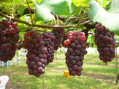 buah dan pohon anggur merah hijau hitam kumpulan gambar foto binatang hewan flora fauna