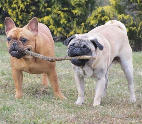 pug bulldog friends stick together pets