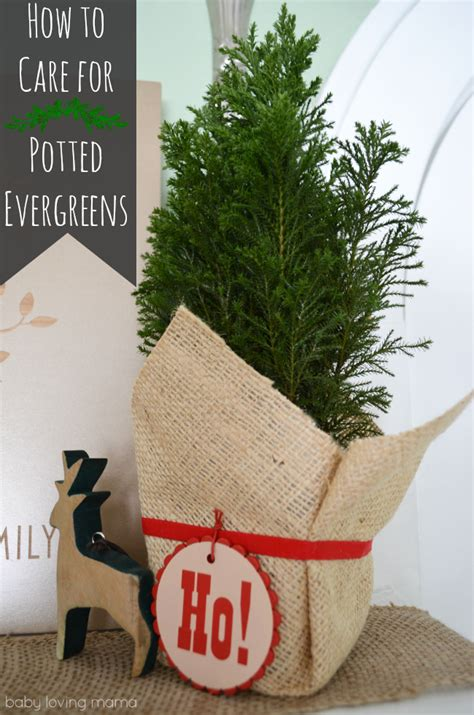 caring for potted evergreens finding zest