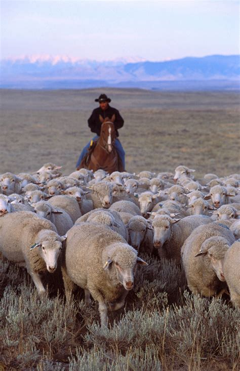 how to a herding file ars sheep herding jpg