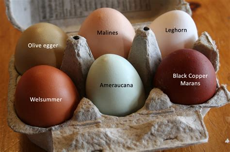 copper colored eggs rosemary lavender chickens and eggs bulbs of