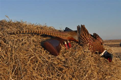 how to a to pheasant hunt south dakota pheasant griffin s guide to and fishing