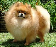 how is a pomeranian 12 minutes pomeranian breed facts and personality traits hill s pet