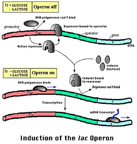 r protein operon operons nini grade 9 biology