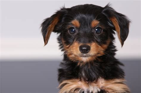 short haired dorkie mixes black dorkie puppies dog breeds puppies dorkie puppies
