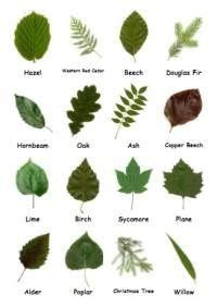leaf pattern recognition british trees leaves identification google search