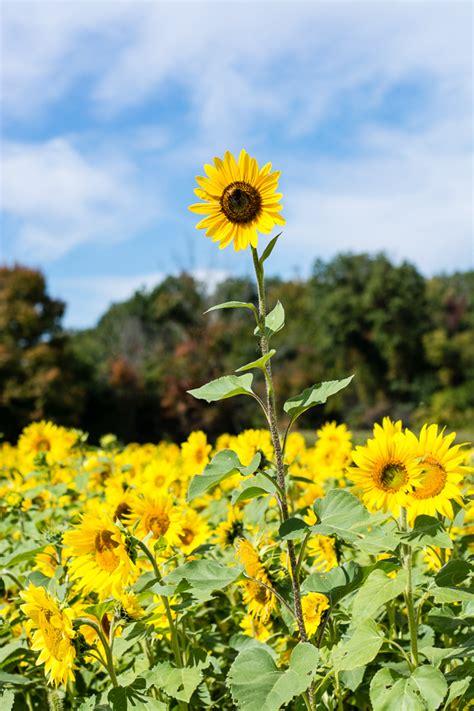 sunflower patch pumpkin patches and sunflower fields elisabeth mcknight