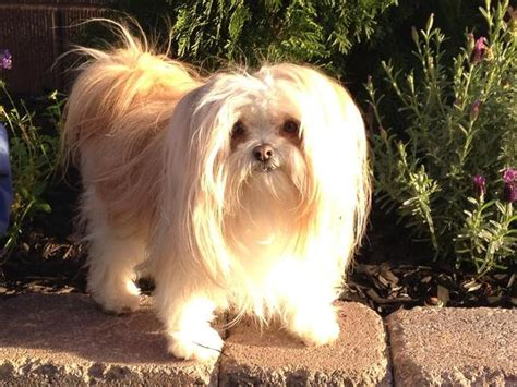 smooth coat mi ki puppies for sale shenandoah valley mi kis mi ki breeder