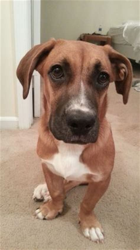 boxer hound mix puppies 1000 images about boxer basset hound mixes on boxer mix 10 month olds