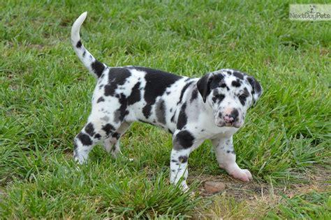 great dane puppies for sale in ga great dane puppy for sale near joplin missouri 9628ec53 6fe1