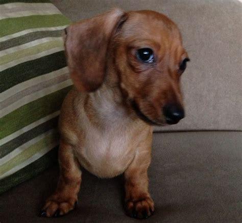 dachshund puppies okc pin tiny mini dachshund puppies in louis oklahoma for sale on