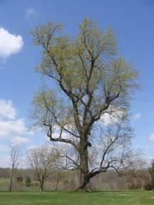 file poplar tree jpg