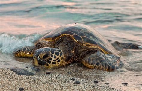 Turtle Sea sea turtles in peril earthjustice