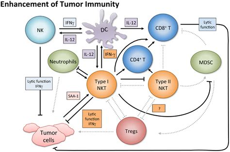 frontiers regulation of interferon gamma frontiers nkt cell networks in the regulation of tumor