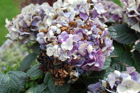 meine schöne garten krankheiten bei hortensien hortensien krankheiten bl tter