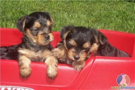teacup yorkies springfield mo babies teacup yorkie puppies for adoption springfield dogs for sale puppies for