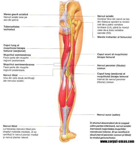diagram of the sciatic nerve sciatic nerve diagram lower nerve diagram