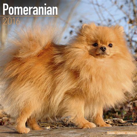 pomeranian h pomeranian calendar 2016 pet prints inc